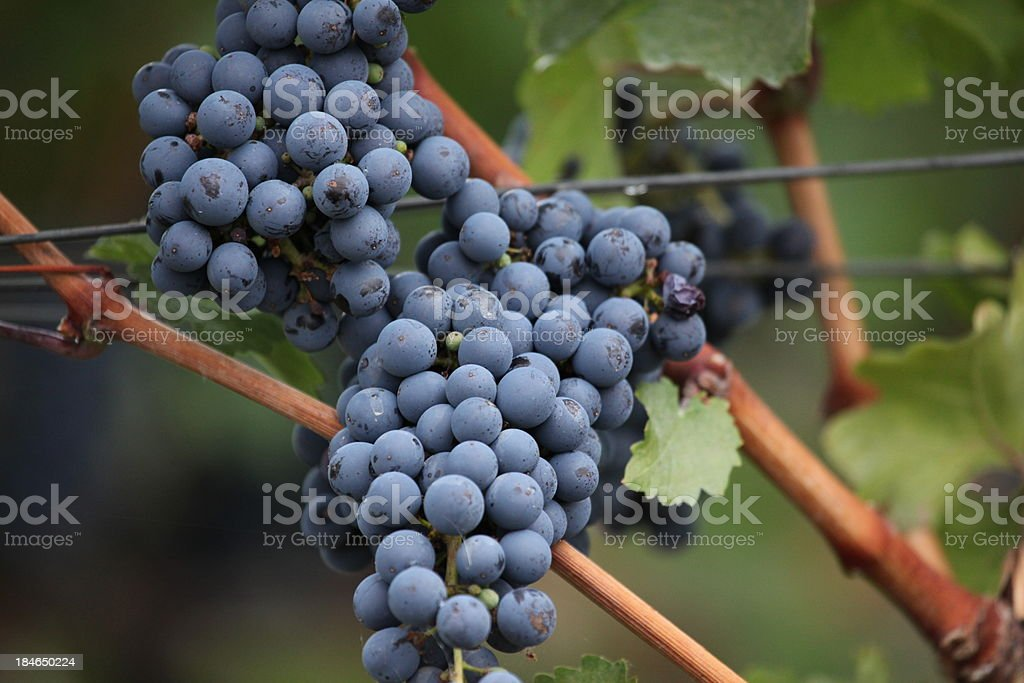 Purple wine grapes ready to harvest.