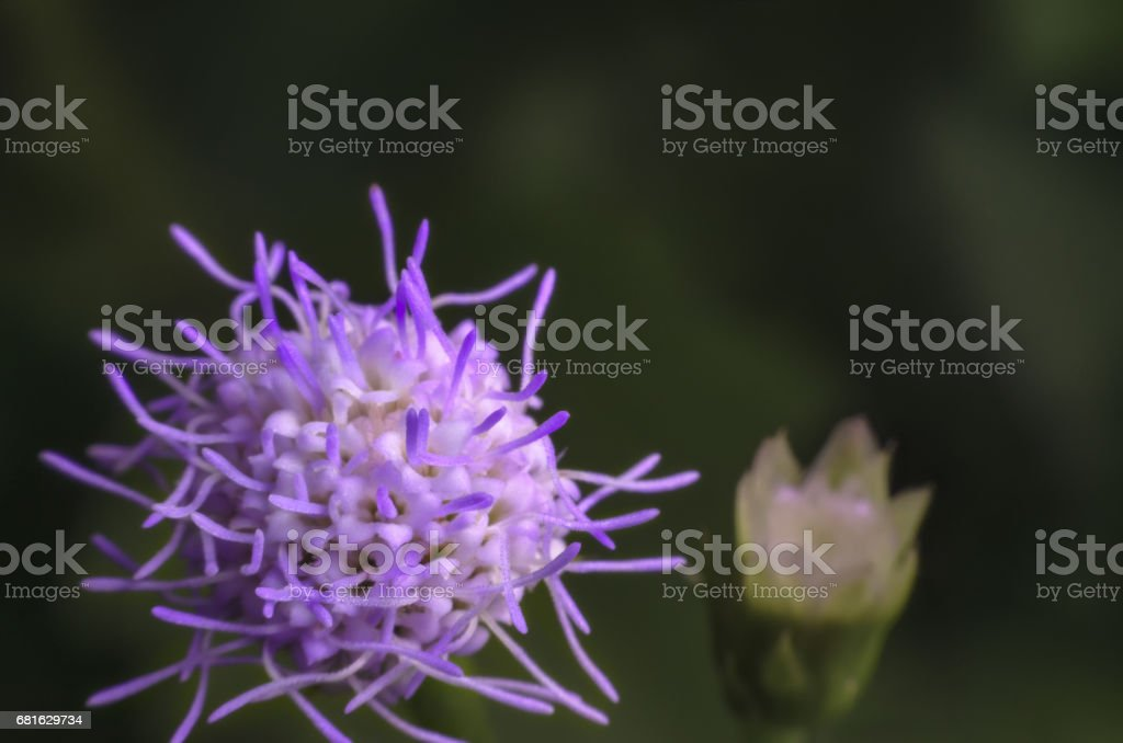 Purple grass flower blossoming in nature on high magnification macro shot. stock photo