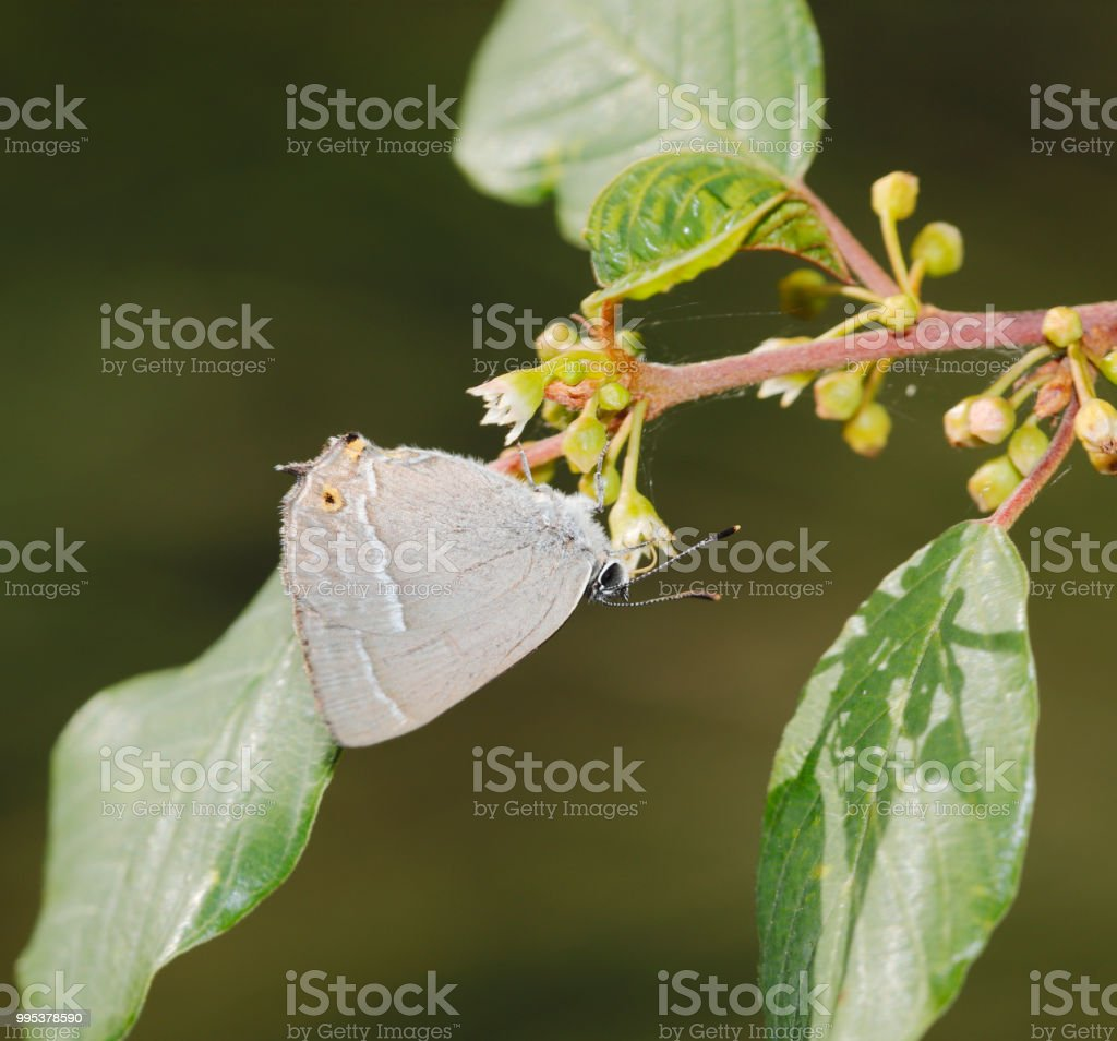 Paarse melinus Butterfly (Neozephyrus quercus) foto