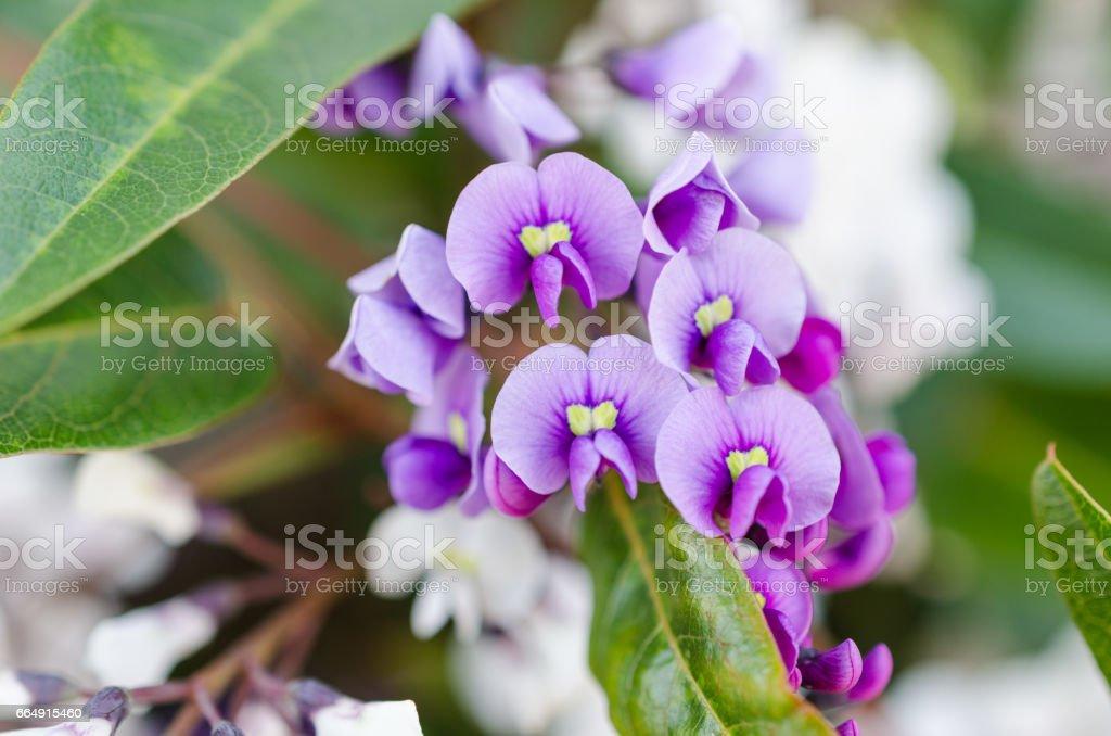 Purple Hardenbergia foto stock royalty-free