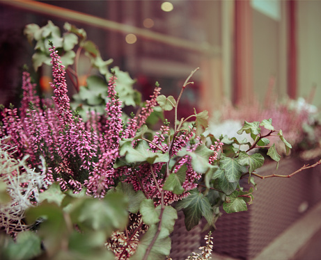 Purple heather and ivy in decorative flower pot