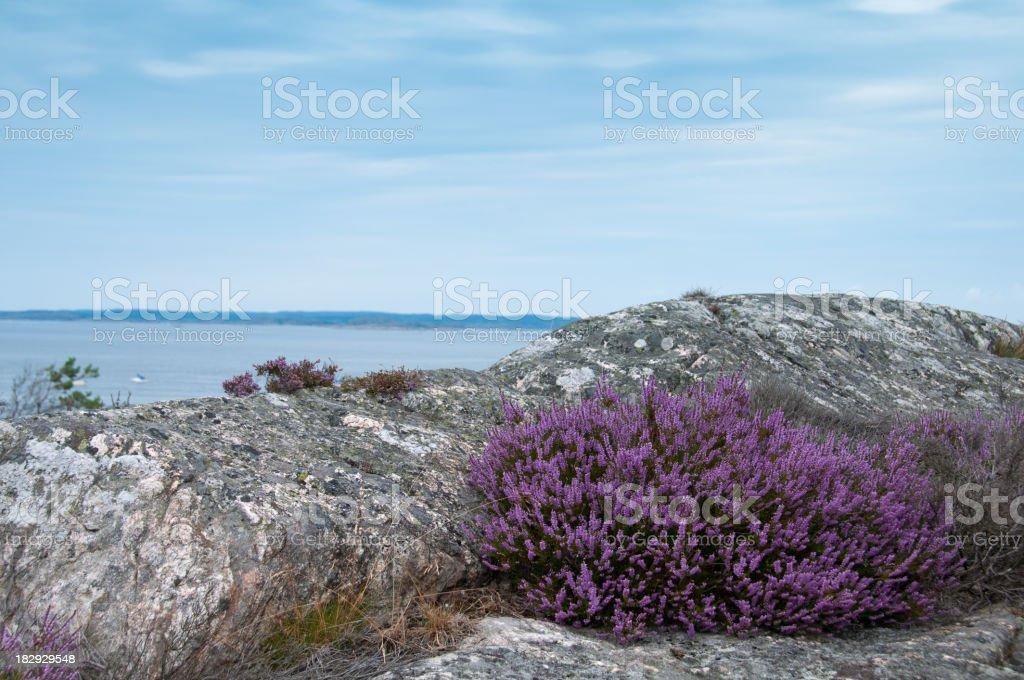 Purple heather at the coast royalty-free stock photo
