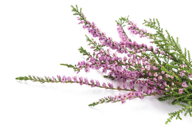 Purple heather flowers Purple heather flowers isolated on white background heather stock pictures, royalty-free photos & images