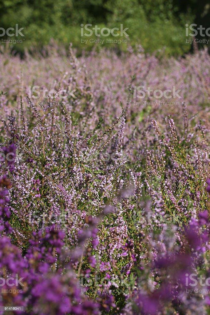 Purple Heather stock photo