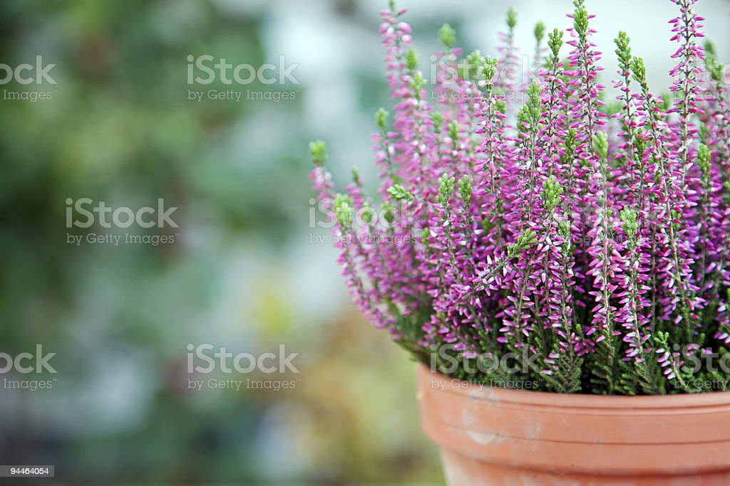 Purple heather stock photo