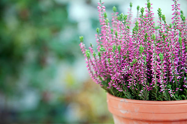 Purple heather  heather stock pictures, royalty-free photos & images