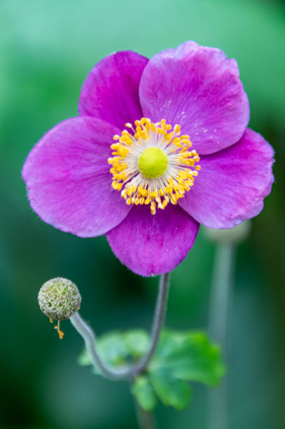 Purple Helios Flower in Bloom stock photo