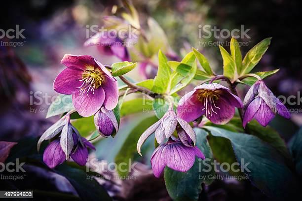 Purple hellebore flower picture id497994603?b=1&k=6&m=497994603&s=612x612&h=evqccorhpesbqv2eiblofkbiyf tbabatp1wmac77lw=