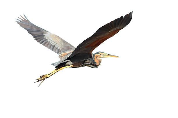 purple heron over white - balıkçıl stok fotoğraflar ve resimler