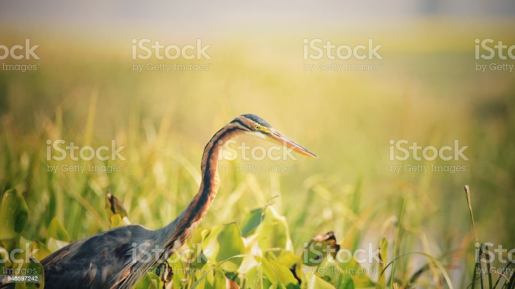 A purple heron patiently waiting stock photo