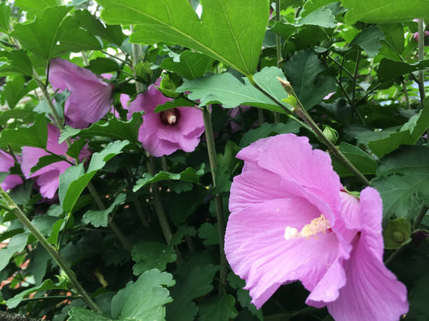 Purple Hibiscus, Flower In Nature (1a2) stock photo