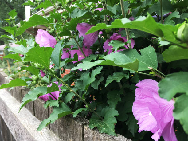 Purple Hibiscus, Flower In Nature (1a3) stock photo