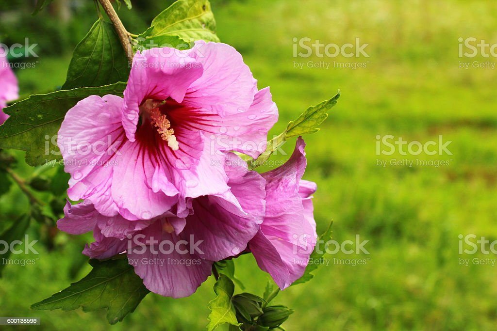 Purple Hibiscus Flowers With Water Drops After Rain Fotografie