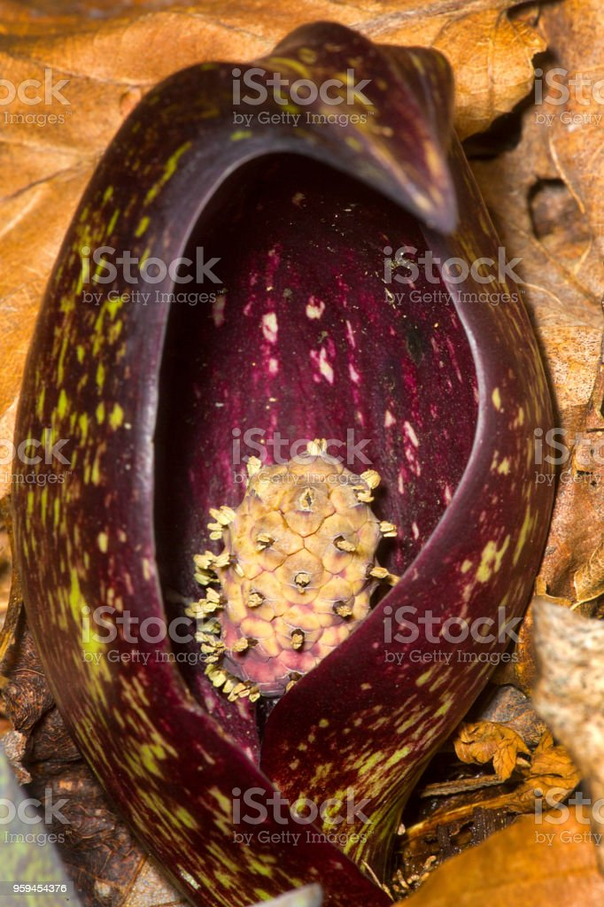 Purple, hooded pring flower of skunk cabbage in Connecticut. stock photo