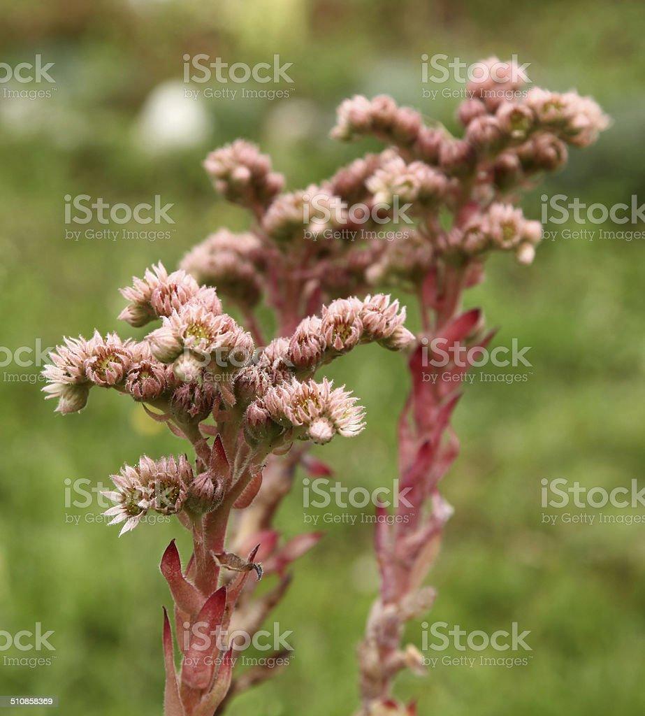 Purple houseleek flowers stock photo