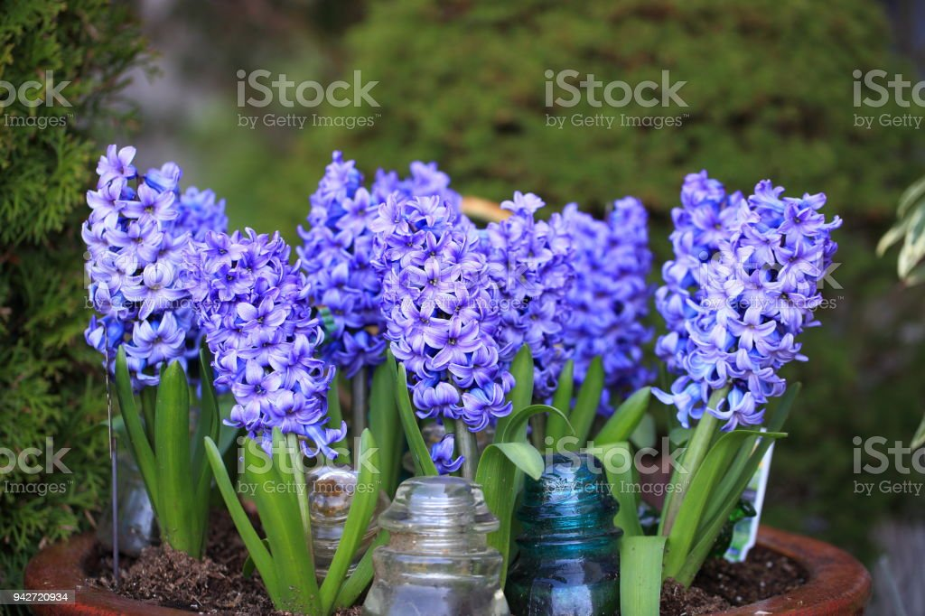 Purple Hyacinth Bloomed stock photo