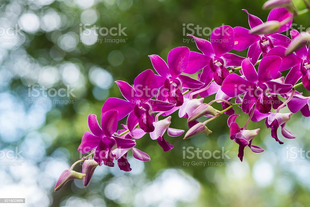 purple hybrid Dendrobium orchid flower stock photo