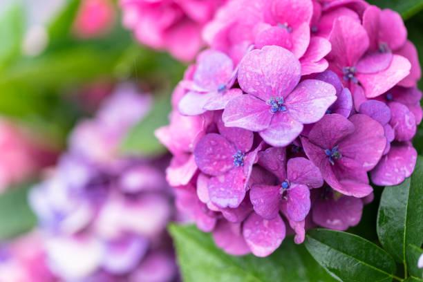 paarse hortensia bloem - hortensia stockfoto's en -beelden