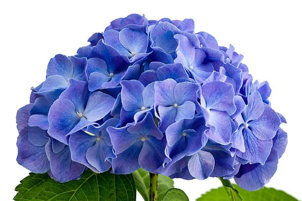 fioletowy hortensja kwiat - hortensja zdjęcia i obrazy z banku zdjęć
