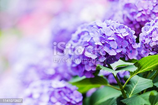 Tilt-Shift Image of Purple Hydrangea Flower in Early Summer