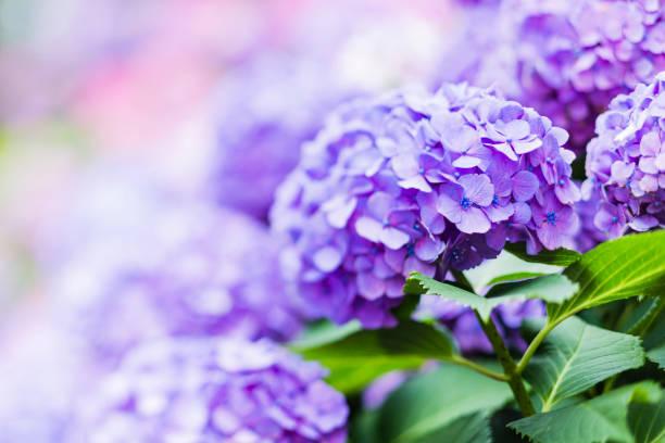 purple hydrangea flowers in the garden - hortensja zdjęcia i obrazy z banku zdjęć