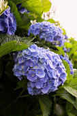 Closeup of purple hydrangea flowers blooming in the garden. Natural flowers background. Shallow depth of field.