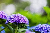 庭の花は紫のアジサイ