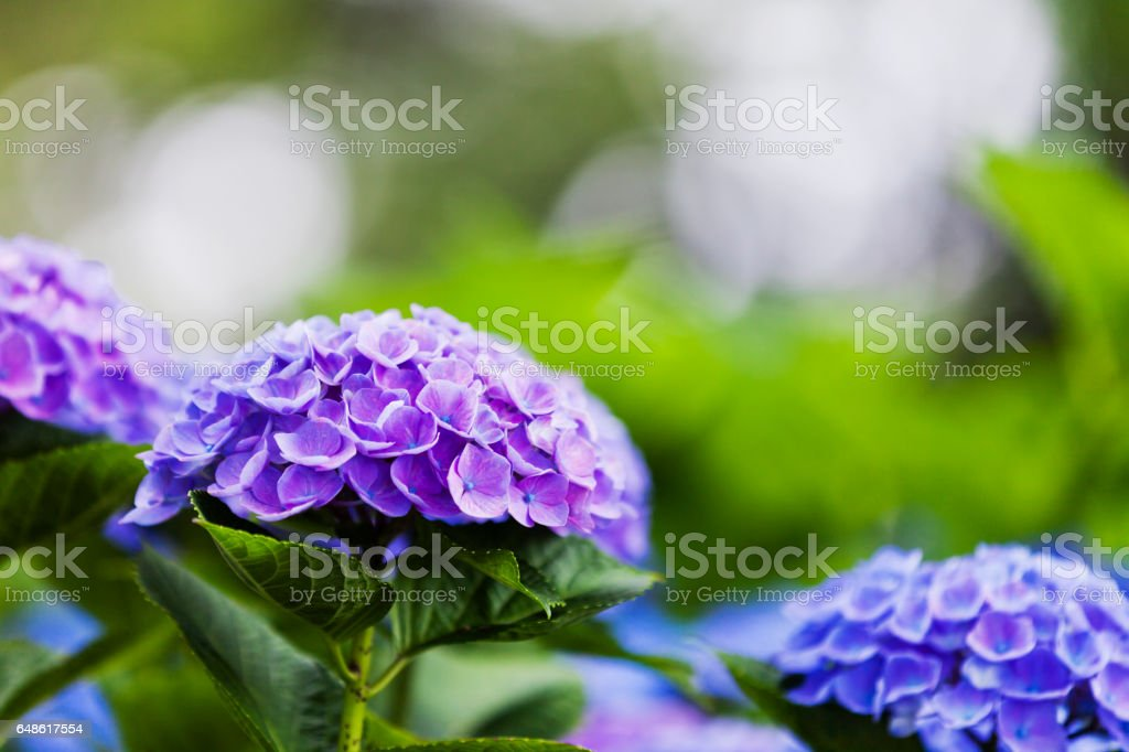 Purple Hydrangea Flowers in the Garden stock photo