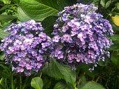 Purple hydrangea flowers with green leaves