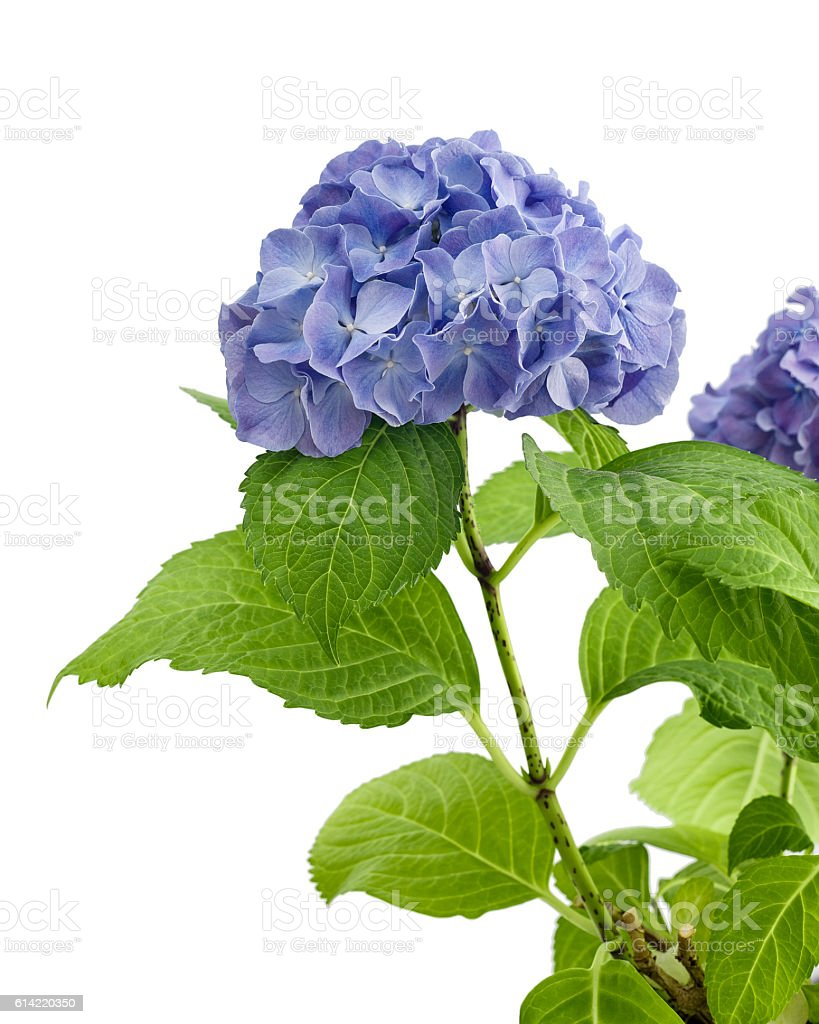 Purple hydrangea isolated stock photo