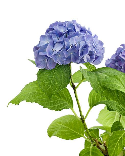 Purple hydrangea isolated stock photo