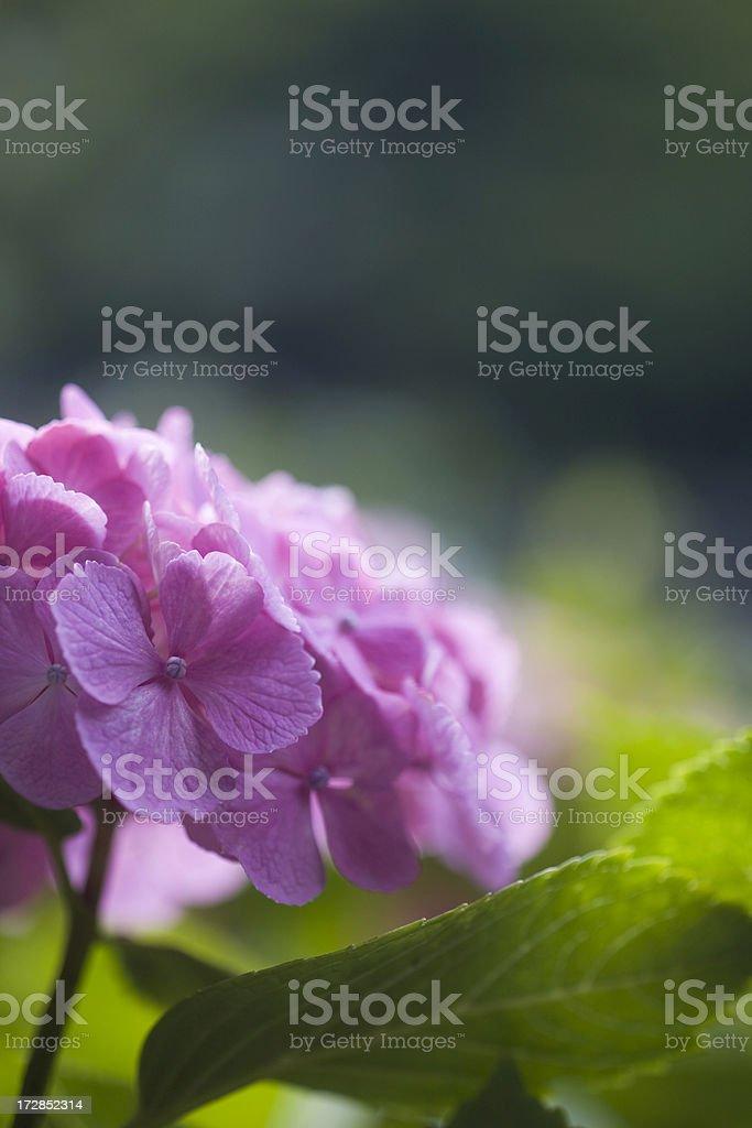 Purple Hydrangea royalty-free stock photo