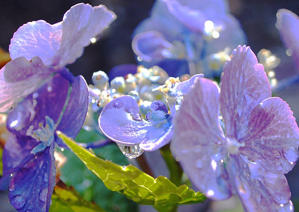 "Purple Hydrangea ""Purple hydrangeaMountain View, CA6/20/2013"" neilliebert stock pictures, royalty-free photos & images"