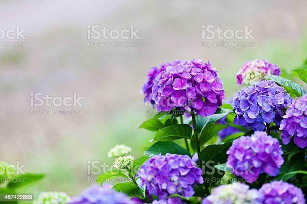 Purple hydrangea picture id487422859?b=1&k=6&m=487422859&s=612x612&h=p k6cecazisnrastb3tk9bre mgv8qz0xqpdf stb1e=
