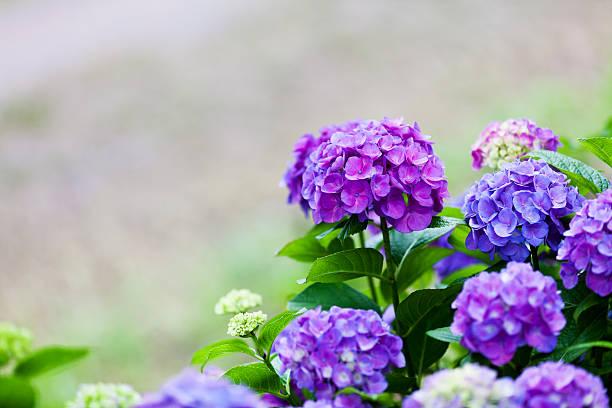 fioletowy hortensja - hortensja zdjęcia i obrazy z banku zdjęć
