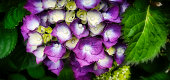 A close-up of a purple Hydrangea set in lush green surrounding leaves