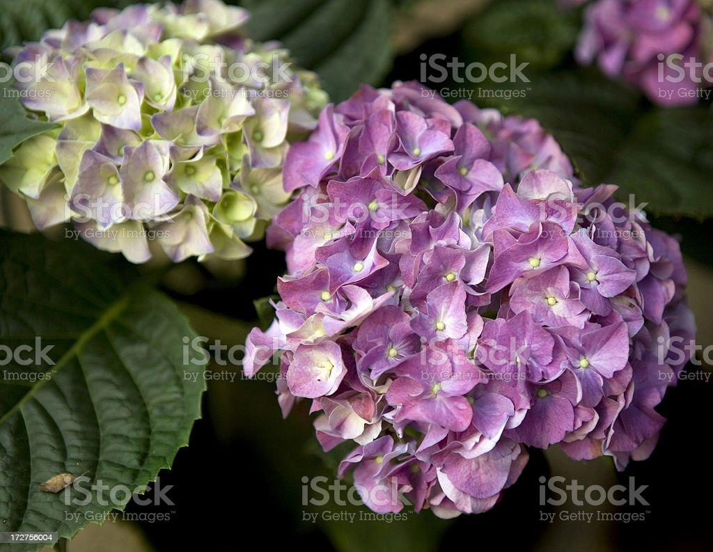 Purple Hydrangeas Springtime Flowers royalty-free stock photo