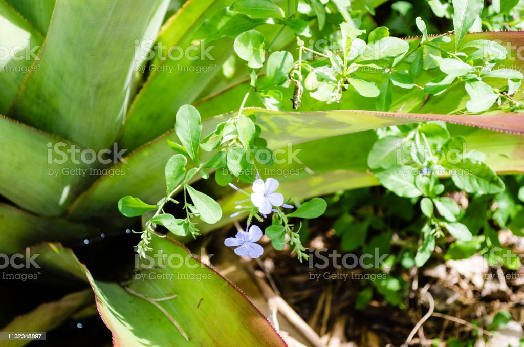 Paars in de kleuren tuin van het botanische park in Grand Cayman foto