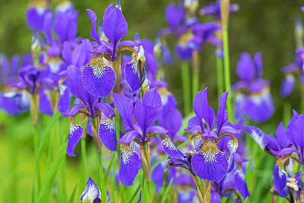 purple iris flower with yellow shade blooming during raining summer - iris flower stock photos and pictures