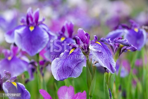 Japanese irises in early summer