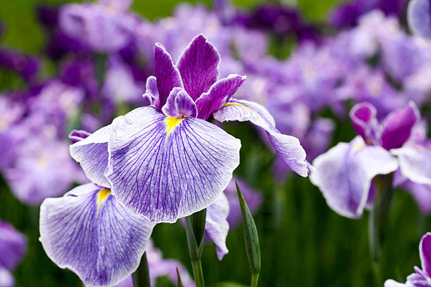 purple iris flowers - iris plant stockfoto's en -beelden
