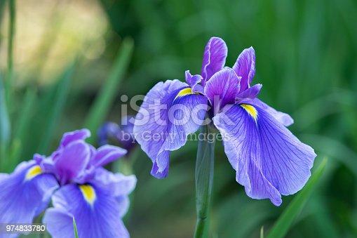 istock purple iris flowers 974833780