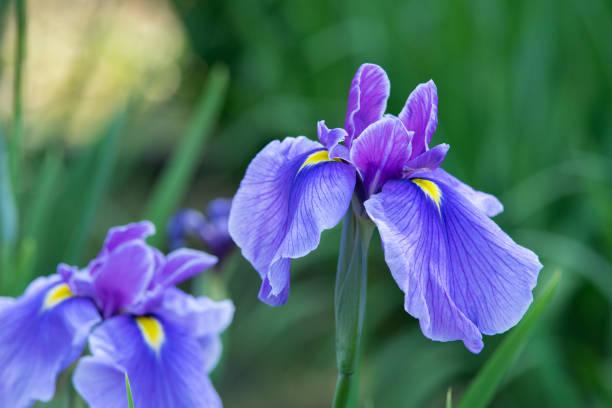 purple iris flowers - iris flower stock photos and pictures