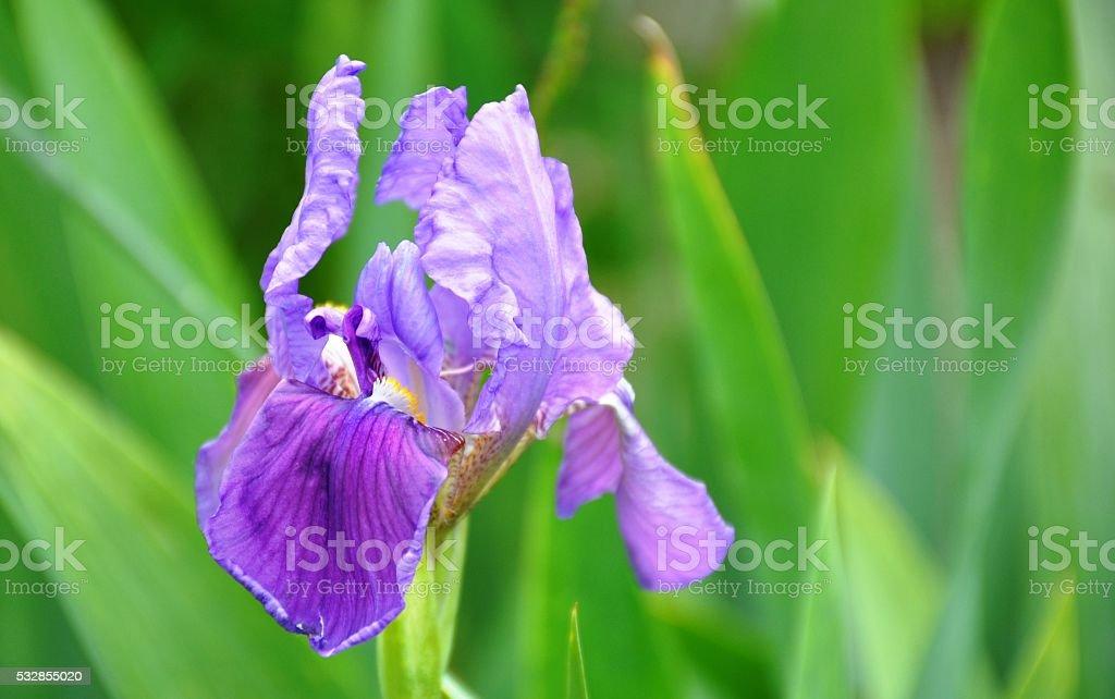 Purple Iris germanica stock photo