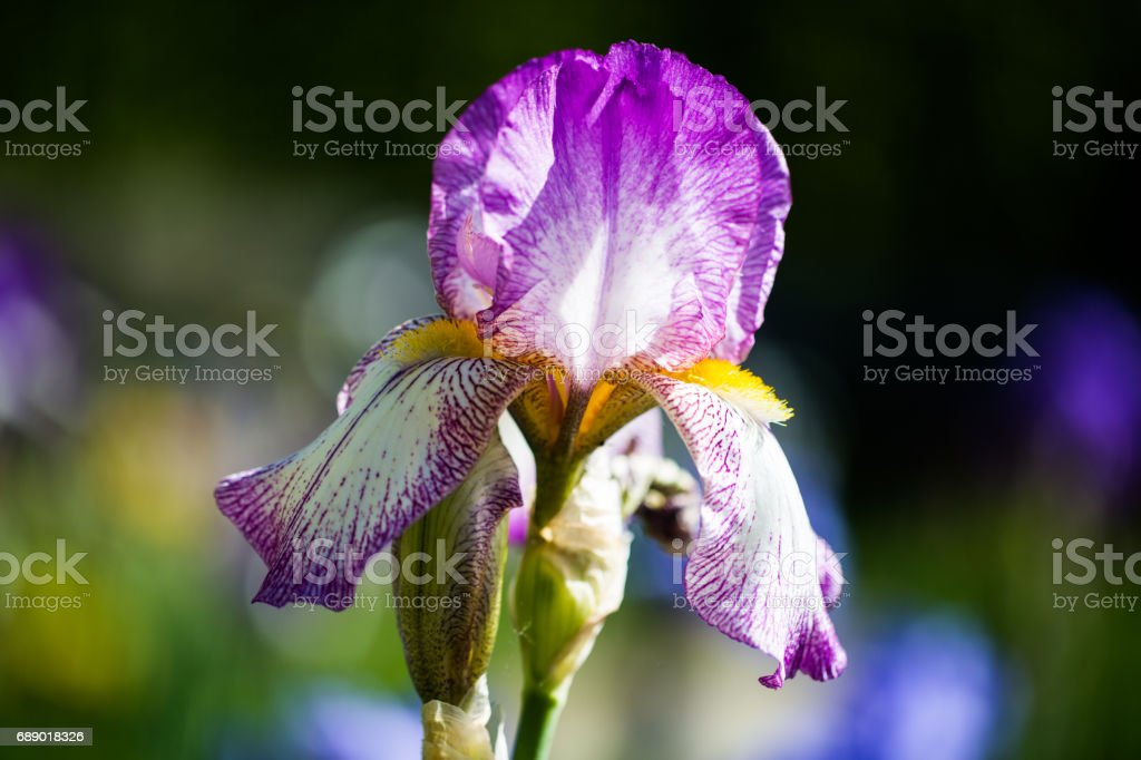 purple iris in a botanical garden stock photo