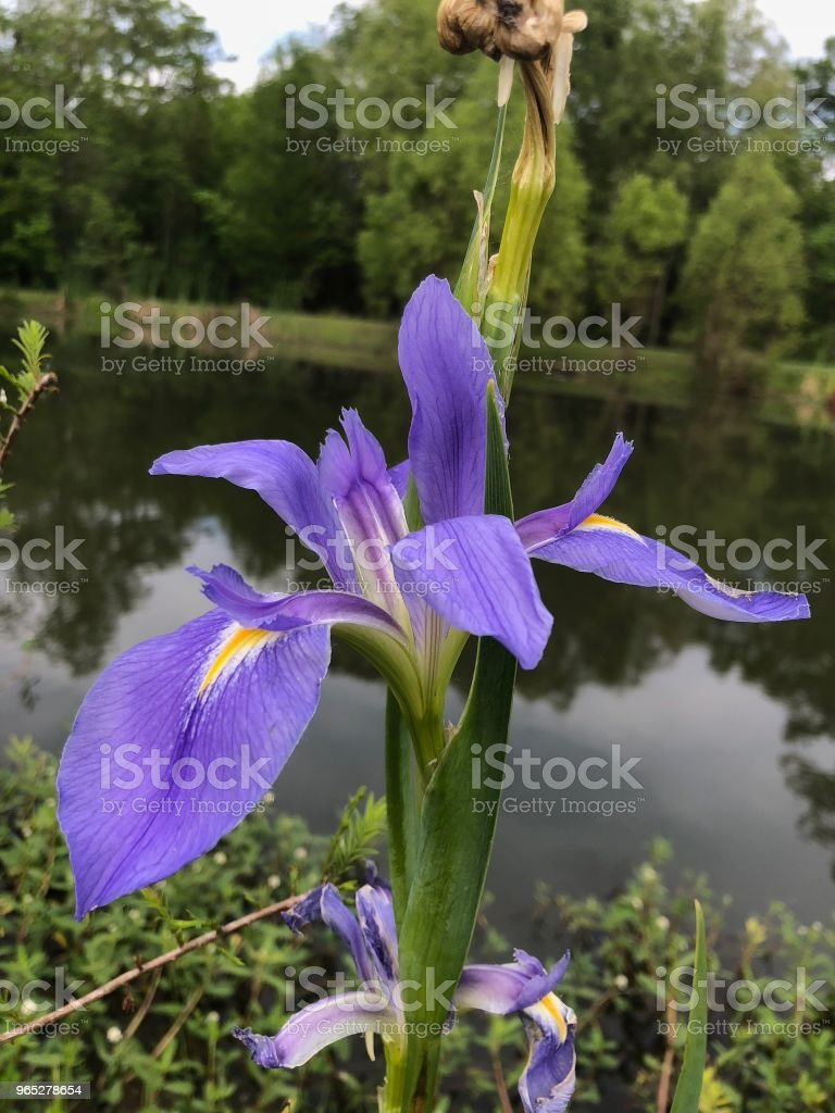 Purple Iris on a Pond zbiór zdjęć royalty-free