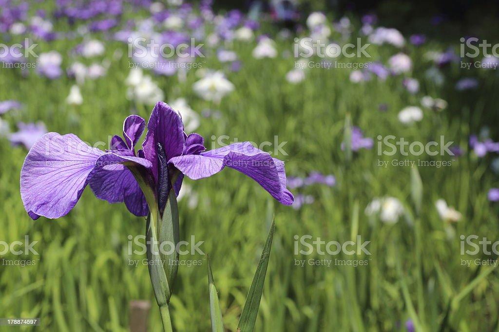 Purple iris royalty-free stock photo