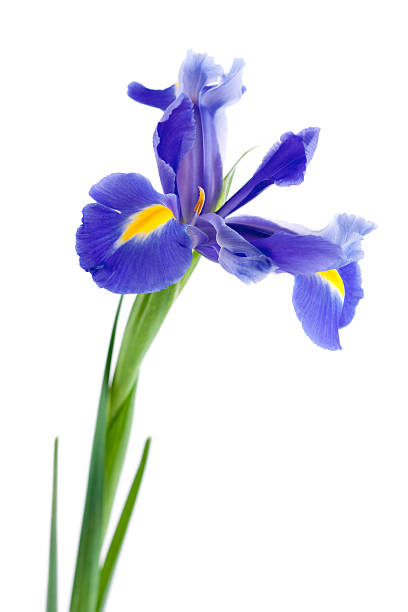 purple iris with green stem on a white background - iris flower stock photos and pictures