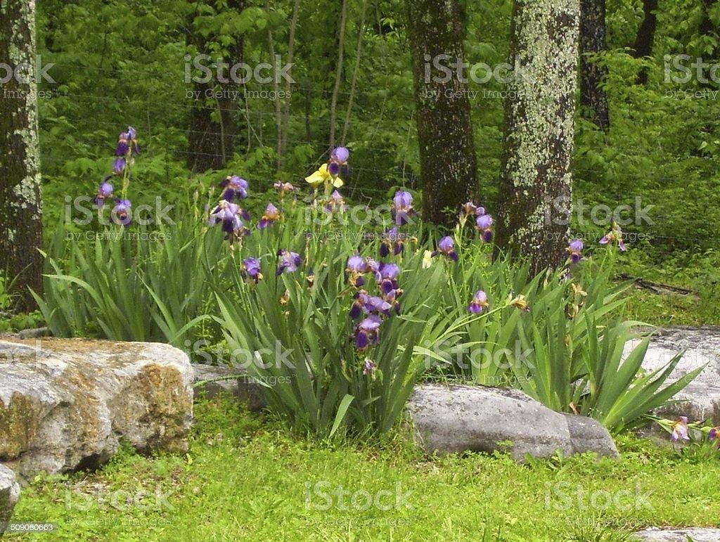 Purple Irises on a River Bank stock photo