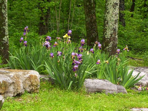 Purple Irises on a River Bank stock photo